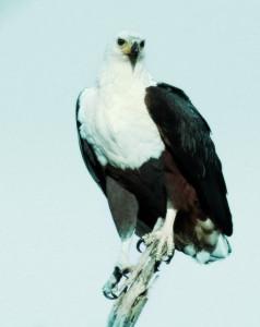 Eagle_Individual_1400984_70645677